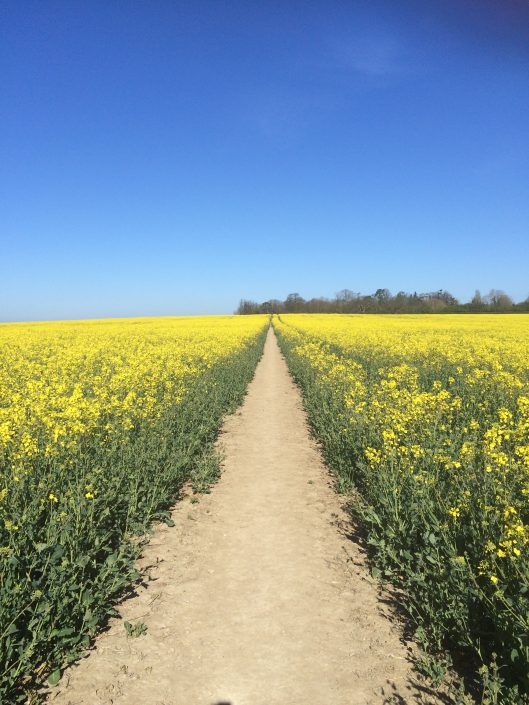 A pathway through a rapeseed field