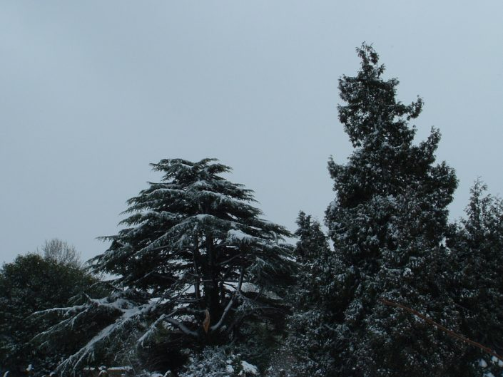 Local snow-covered trees, a winter scene